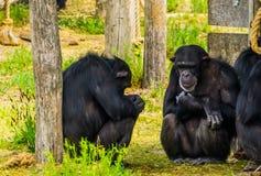 Primer de dos chimpancés occidentales que se sientan contra un tronco de árbol, especie críticamente en peligro del primate de Áf fotos de archivo libres de regalías
