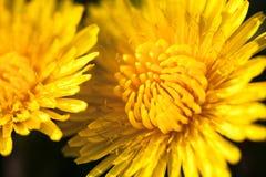 Primer de dos flores amarillas florecientes del diente de león Foto de archivo libre de regalías