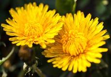 Primer de dos flores amarillas florecientes del diente de león Imagen de archivo