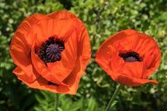 Primer de dos flores de color naranja brillantes de la amapola Foto de archivo