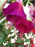 Primer de dos flores en pálido - rosa y fucsia fotografía de archivo libre de regalías