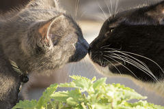Primer de dos gatos que se huelen nariz conmovedora para sospechar foto de archivo