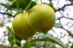 Primer de dos naranjas frescas orgánicas que cuelgan en árbol fotografía de archivo