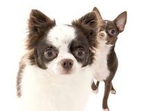 Primer de dos perros de la chihuahua uno tras otro Fotos de archivo