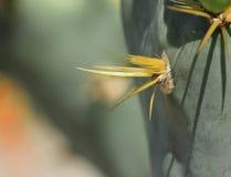 Primer de espinas dorsales del cactus de la Opuntia Foto de archivo libre de regalías