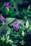 Primer de florecer las plantas de Lisianthus o del Eustoma imagen de archivo libre de regalías