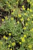 Primer de flores amarillas del butterwort curveseed Fotografía de archivo