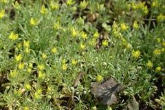 Primer de flores amarillas del ranúnculo de la oficina Imagen de archivo