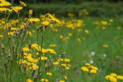 Primer de flores amarillas salvajes imagen de archivo