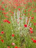 Primer de flores brillantemente adentro coloreadas de la amapola y de un wildflower Imagenes de archivo