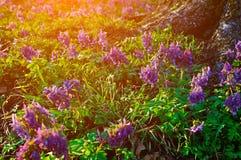 Primer de flores de color de malva del halleri del Corydalis en flor debajo del árbol en el bosque Fotografía de archivo libre de regalías