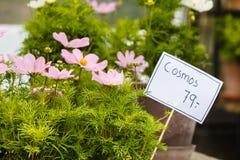 Primer de flores rosadas hermosas, cosmos de las margaritas Imagenes de archivo
