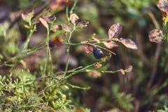 Primer de Forest Vegetation con la hierba, los arándanos y el follaje - Sunny Summer Day imagenes de archivo