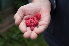 Primer de frambuesas rojas maduras en la mano del viejo hombre en jardín Na imagen de archivo