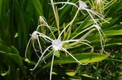 Primer de frente de los lirios blancos hermosos de una araña en México Fotografía de archivo