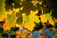 Primer de hojas de arce, transformación del verde a amarillear en otoño fotos de archivo