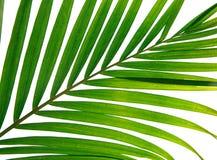 Primer de hojas de palma Imágenes de archivo libres de regalías