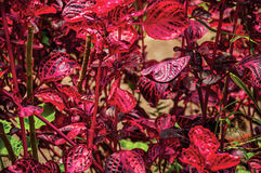 Primer de hojas impares rojas en el Horto Florestal, cerca de Campos de Jordão Imagenes de archivo