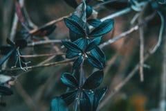 Primer de hojas púrpuras del peregrina del rubia fotos de archivo