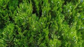 Primer de hojas verdes de los árboles del Thuja fotografía de archivo