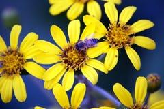 Primer de Honey Bee en margarita amarilla Fotografía de archivo libre de regalías