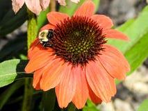 Primer de Honey Bee en un Coneflower anaranjado Imagen de archivo