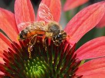 Primer de Honey Bee en una flor del maíz Imágenes de archivo libres de regalías
