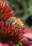 Primer de Honey Bee en una flor del maíz Foto de archivo