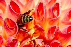 Primer de Honey Bee Face Down en una dalia Fotografía de archivo libre de regalías