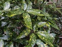 Primer de houseplants verdes y amarillos abigarrados, en la exhibición al aire libre en luz natural foto de archivo