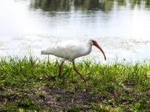 Primer de Ibis blanco Foto de archivo libre de regalías