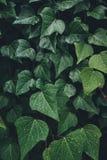 Primer de Ivy Leaves mojada imagen de archivo libre de regalías