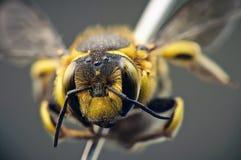 Primer de la abeja Foto de archivo libre de regalías