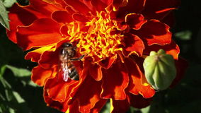Primer de la abeja Fotos de archivo