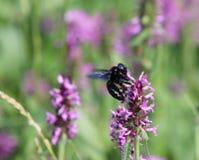Primer de la abeja de carpintero, violacea del Xylocopa, en la flor púrpura del betony, officinalis de Betonica, plantas medicina Imagenes de archivo