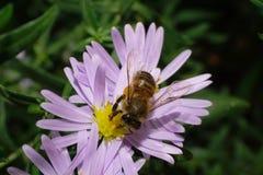 Primer de la abeja caucásica en aster alpino Imágenes de archivo libres de regalías