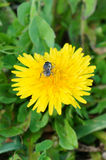 Primer de la abeja de la Florida en la flor Foto de archivo libre de regalías