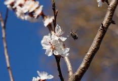 Primer de la abeja de la miel en flores de cerezo Imagen de archivo