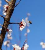 Primer de la abeja de la miel en flores de cerezo Foto de archivo libre de regalías