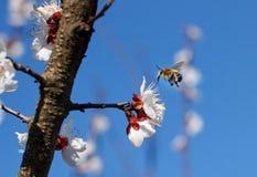 Primer de la abeja de la miel en flores de cerezo Imagenes de archivo