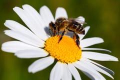 Primer de la abeja de la miel en una flor Imagenes de archivo