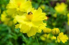Primer de la abeja de la naturaleza y de la flor amarilla Imagen de archivo