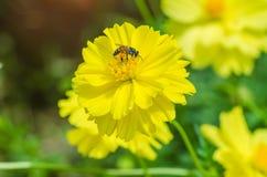 Primer de la abeja de la naturaleza y de la flor amarilla Foto de archivo