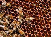 Primer de la abeja de los insectos Imagen de archivo