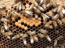 Primer de la abeja de los insectos Foto de archivo libre de regalías