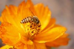 Primer de la abeja del cosmos del azufre Imagen de archivo libre de regalías