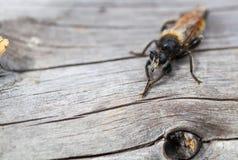 Primer de la abeja del insecto Imagenes de archivo