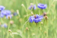 Primer de la abeja en aciano azul en campo verde Foto de archivo