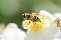 Primer de la abeja en el cielo 02 de la flor blanca Fotos de archivo