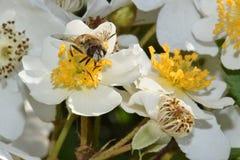 Primer de la abeja en el cielo 03 de la flor blanca Fotos de archivo